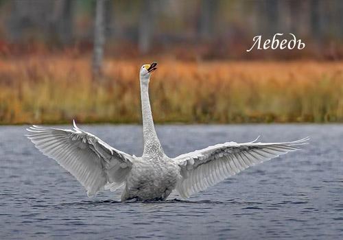 """Карманный календарик """"Лебедь"""""""